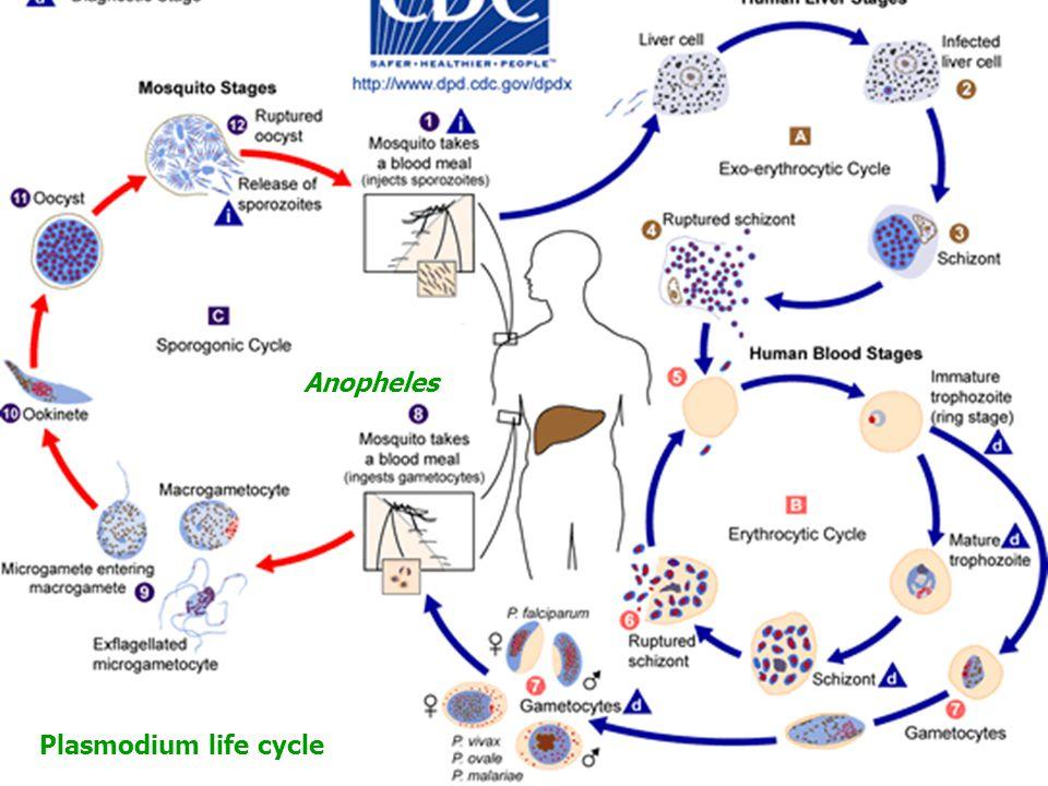 Plasmodium life cycle Anopheles Şizogoni/Merogoni