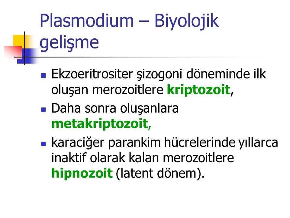 Plasmodium – Biyolojik gelişme Ekzoeritrositer şizogoni döneminde ilk oluşan merozoitlere kriptozoit, Daha sonra oluşanlara metakriptozoit, karaciğer parankim hücrelerinde yıllarca inaktif olarak kalan merozoitlere hipnozoit (latent dönem).