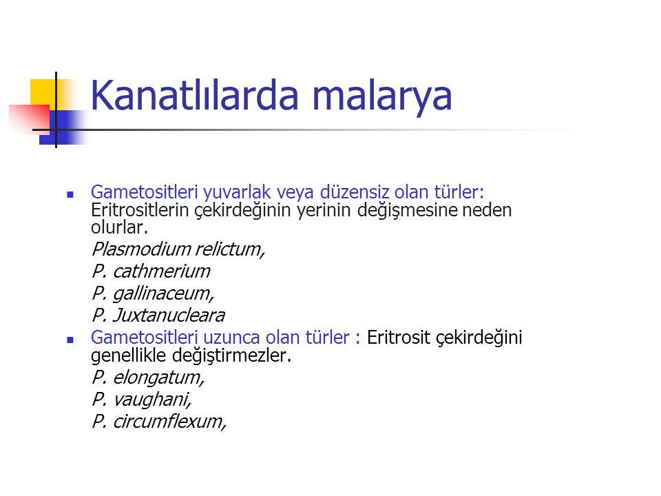 Kanatlılarda malarya Gametositleri yuvarlak veya düzensiz olan türler: Eritrositlerin çekirdeğinin yerinin değişmesine neden olurlar.