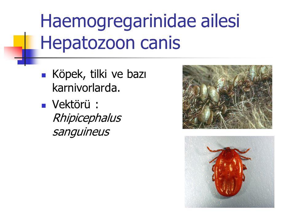 Haemogregarinidae ailesi Hepatozoon canis Köpek, tilki ve bazı karnivorlarda. Vektörü : Rhipicephalus sanguineus