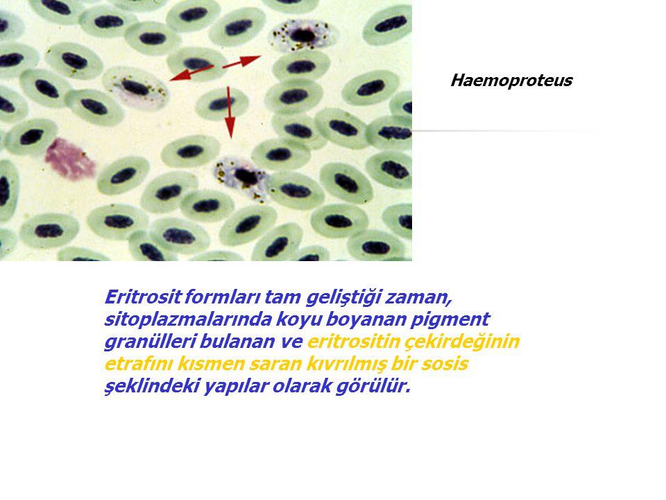 Eritrosit formları tam geliştiği zaman, sitoplazmalarında koyu boyanan pigment granülleri bulanan ve eritrositin çekirdeğinin etrafını kısmen saran kı