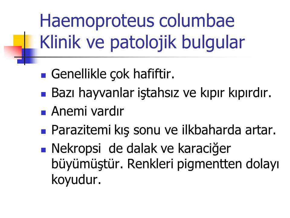 Haemoproteus columbae Klinik ve patolojik bulgular Genellikle çok hafiftir. Bazı hayvanlar iştahsız ve kıpır kıpırdır. Anemi vardır Parazitemi kış son