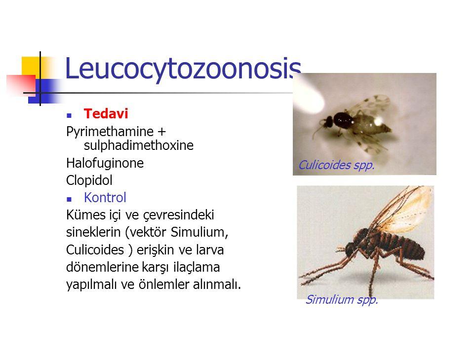 Leucocytozoonosis Tedavi Pyrimethamine + sulphadimethoxine Halofuginone Clopidol Kontrol Kümes içi ve çevresindeki sineklerin (vektör Simulium, Culicoides ) erişkin ve larva dönemlerine karşı ilaçlama yapılmalı ve önlemler alınmalı.