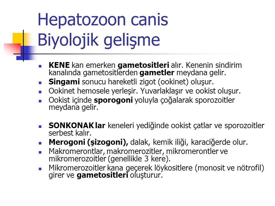Hepatozoon canis Biyolojik gelişme KENE kan emerken gametositleri alır. Kenenin sindirim kanalında gametositlerden gametler meydana gelir. Singami son