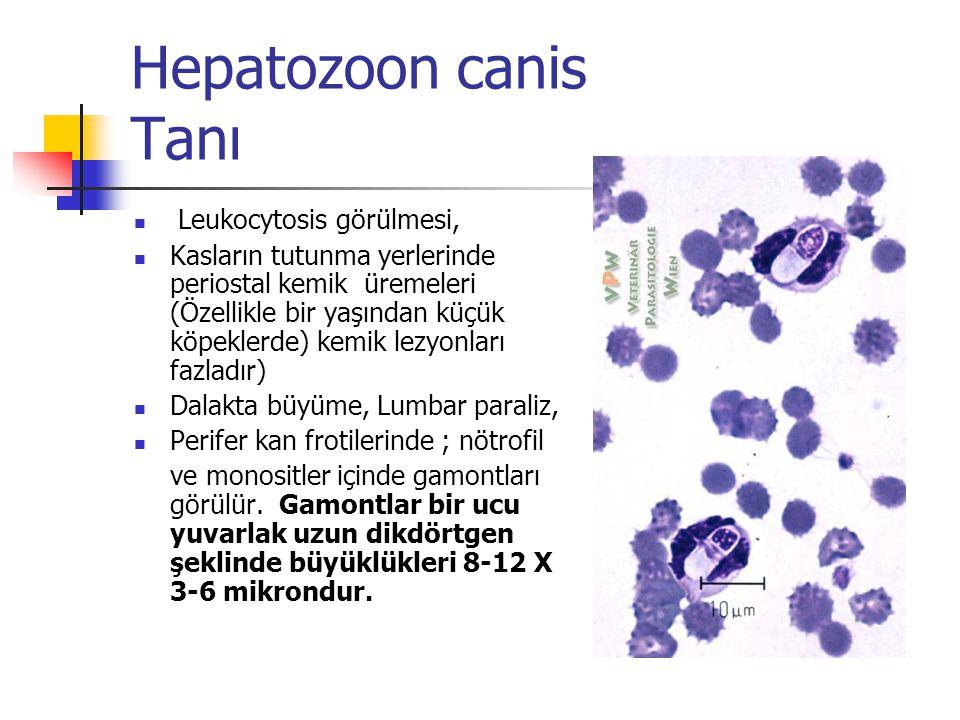 Hepatozoon canis Tanı Leukocytosis görülmesi, Kasların tutunma yerlerinde periostal kemik üremeleri (Özellikle bir yaşından küçük köpeklerde) kemik lezyonları fazladır) Dalakta büyüme, Lumbar paraliz, Perifer kan frotilerinde ; nötrofil ve monositler içinde gamontları görülür.