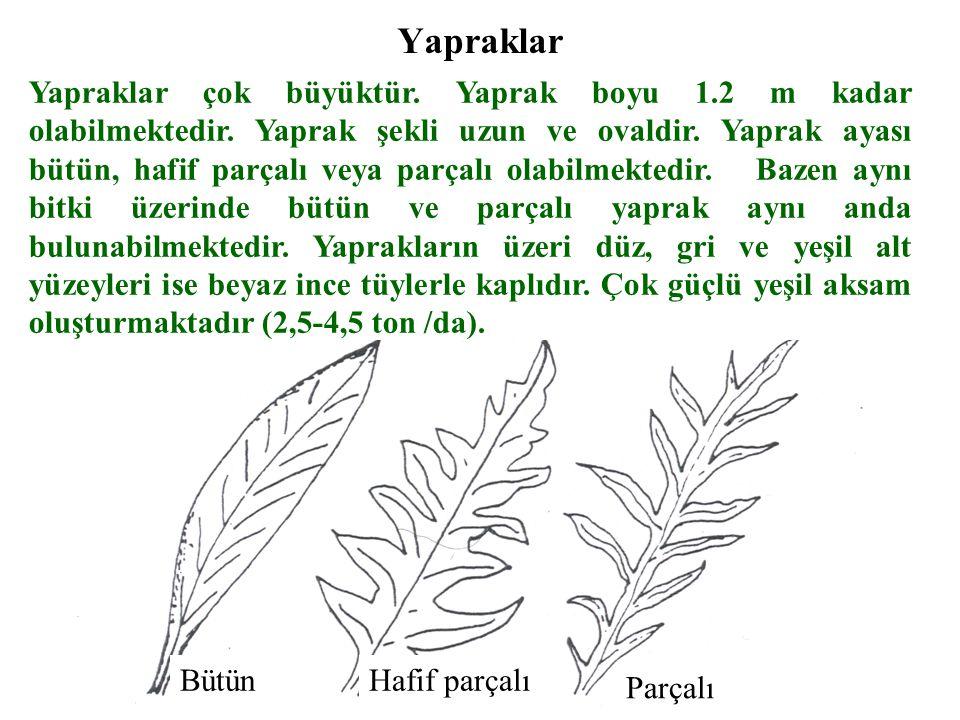 Yapraklar Yapraklar çok büyüktür.Yaprak boyu 1.2 m kadar olabilmektedir.