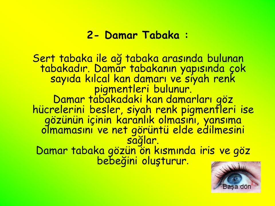 2- Damar Tabaka : Sert tabaka ile ağ tabaka arasında bulunan tabakadır. Damar tabakanın yapısında çok sayıda kılcal kan damarı ve siyah renk pigmentle