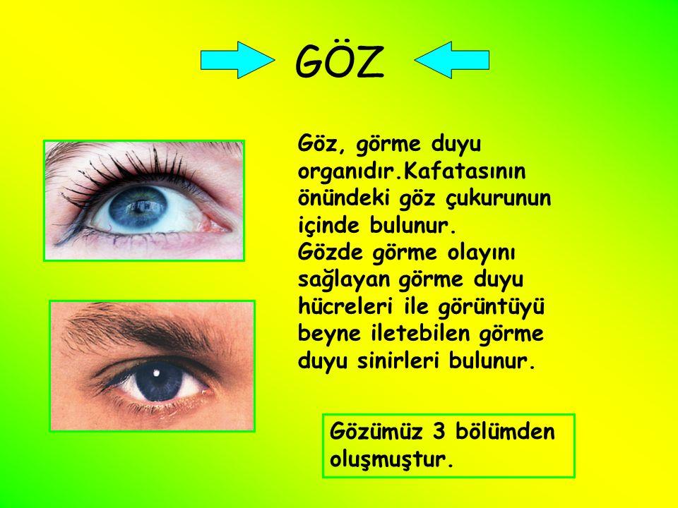 GÖZ Göz, görme duyu organıdır.Kafatasının önündeki göz çukurunun içinde bulunur. Gözde görme olayını sağlayan görme duyu hücreleri ile görüntüyü beyne