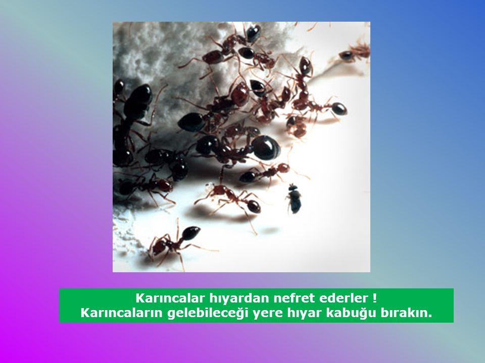 Karıncalar hıyardan nefret ederler ! Karıncaların gelebileceği yere hıyar kabuğu bırakın.