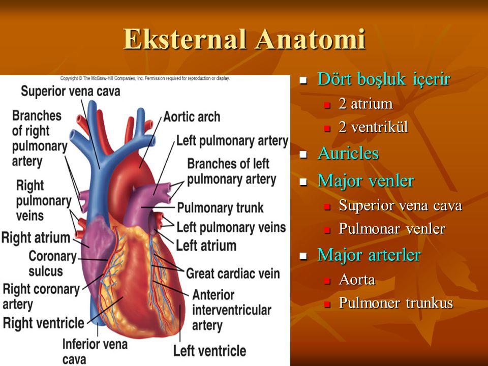 Eksternal Anatomi Dört boşluk içerir Dört boşluk içerir 2 atrium 2 ventrikül Auricles Auricles Major venler Major venler Superior vena cava Pulmonar venler Major arterler Major arterler Aorta Pulmoner trunkus