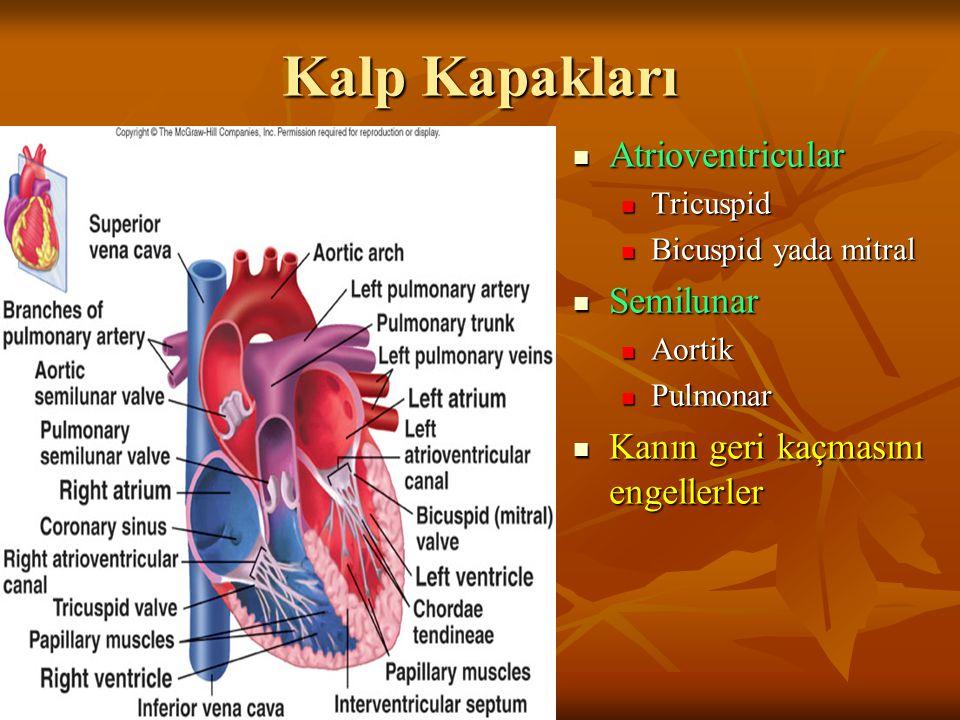 Kalp Kapakları Atrioventricular Atrioventricular Tricuspid Bicuspid yada mitral Semilunar Semilunar Aortik Pulmonar Kanın geri kaçmasını engellerler Kanın geri kaçmasını engellerler