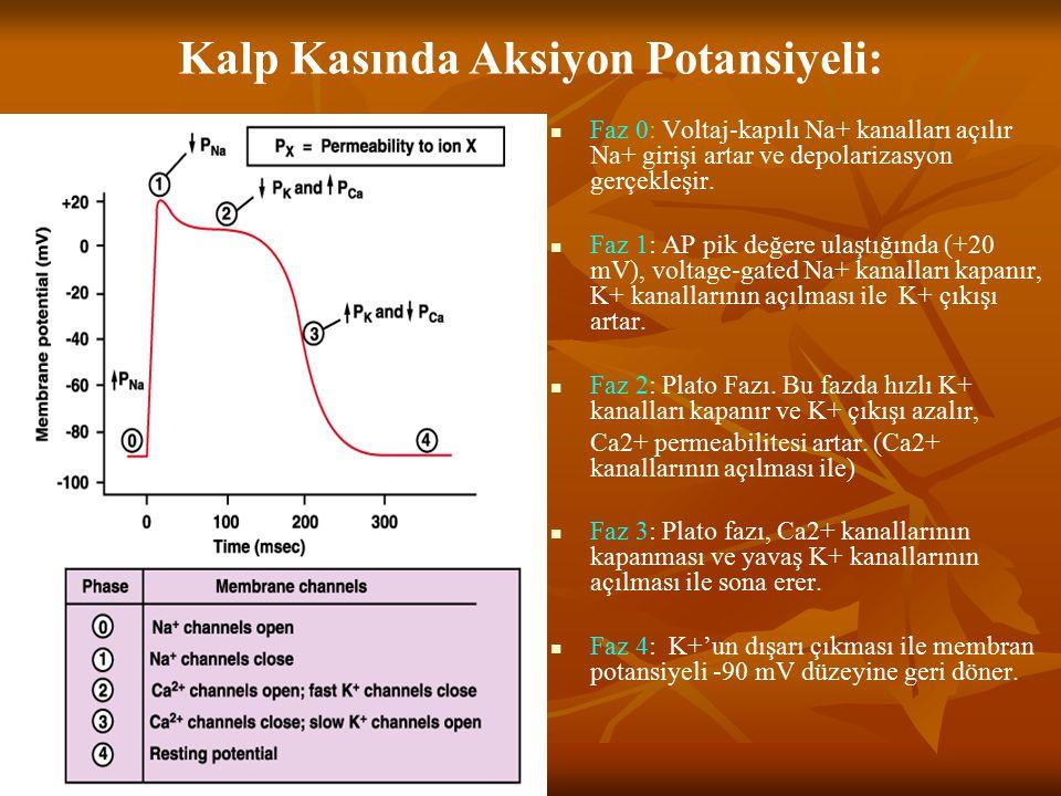 Kalp Kasında Aksiyon Potansiyeli: Faz 0: Voltaj-kapılı Na+ kanalları açılır Na+ girişi artar ve depolarizasyon gerçekleşir. Faz 1: AP pik değere ulaşt