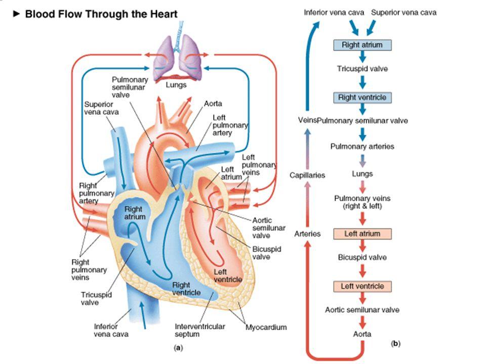 Uzunluk-Gerim İlişkisi Kalp kası yeterince gerilirse o derecede daha çok kasılabilir.