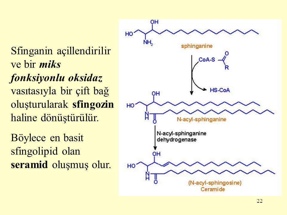22 Sfinganin açillendirilir ve bir miks fonksiyonlu oksidaz vasıtasıyla bir çift bağ oluşturularak sfingozin haline dönüştürülür.
