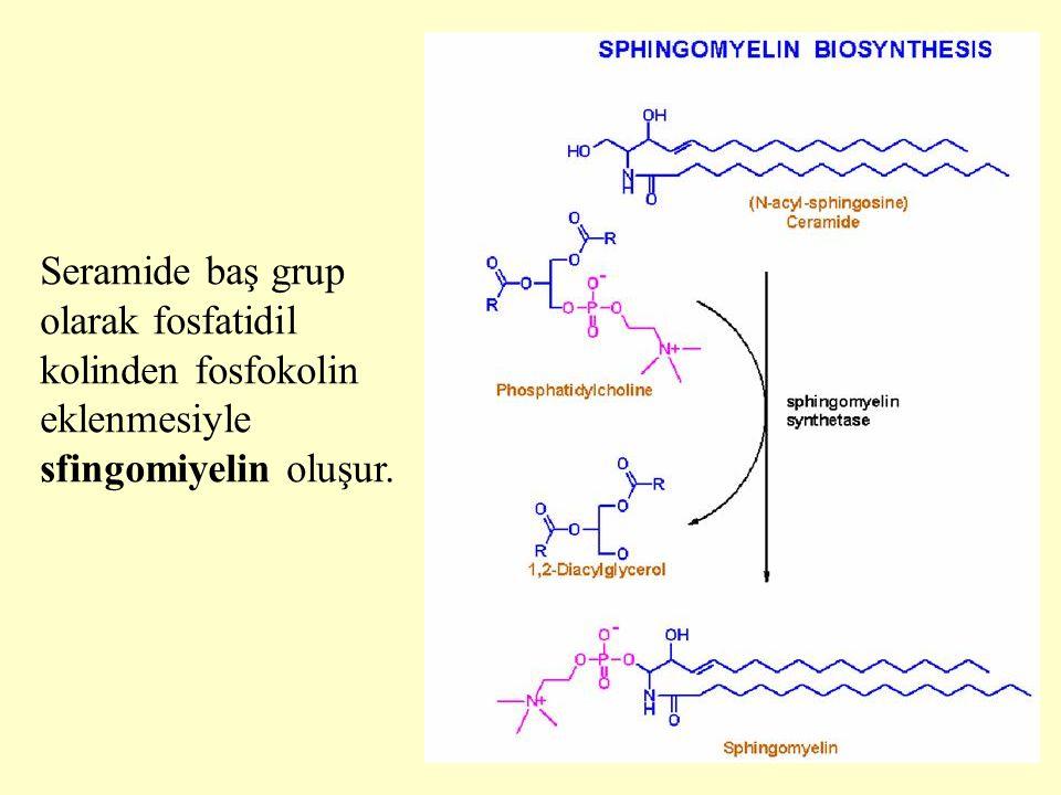 23 Seramide baş grup olarak fosfatidil kolinden fosfokolin eklenmesiyle sfingomiyelin oluşur.
