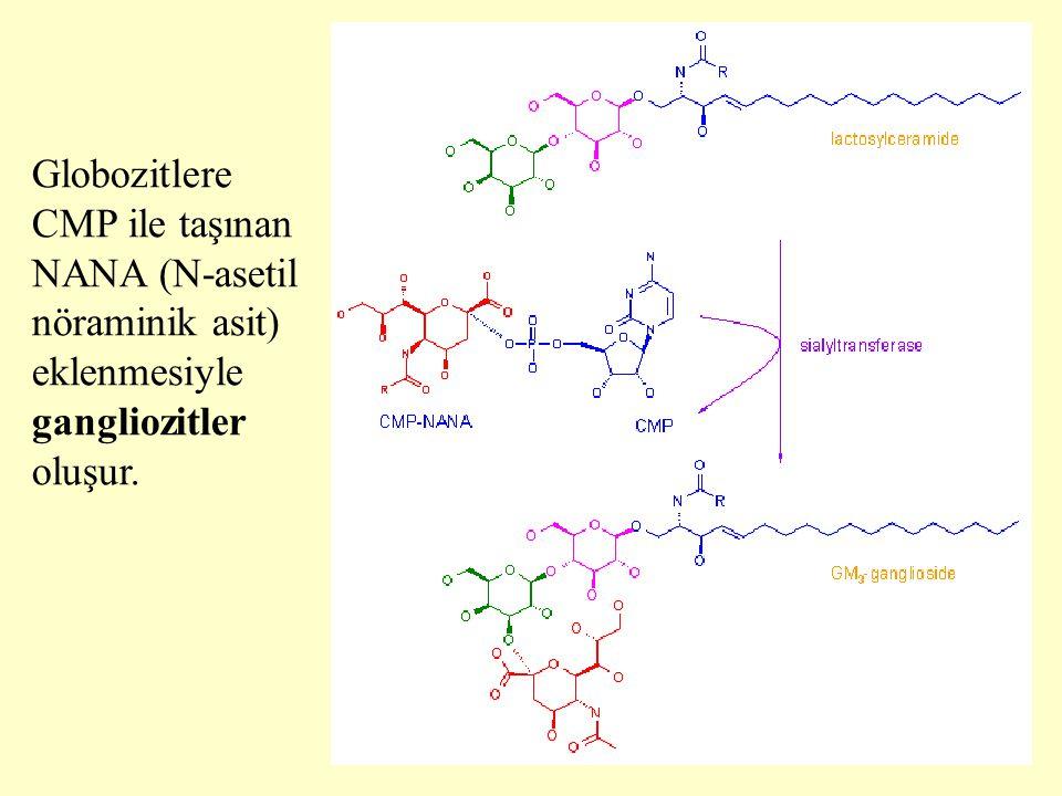 26 Globozitlere CMP ile taşınan NANA (N-asetil nöraminik asit) eklenmesiyle gangliozitler oluşur.