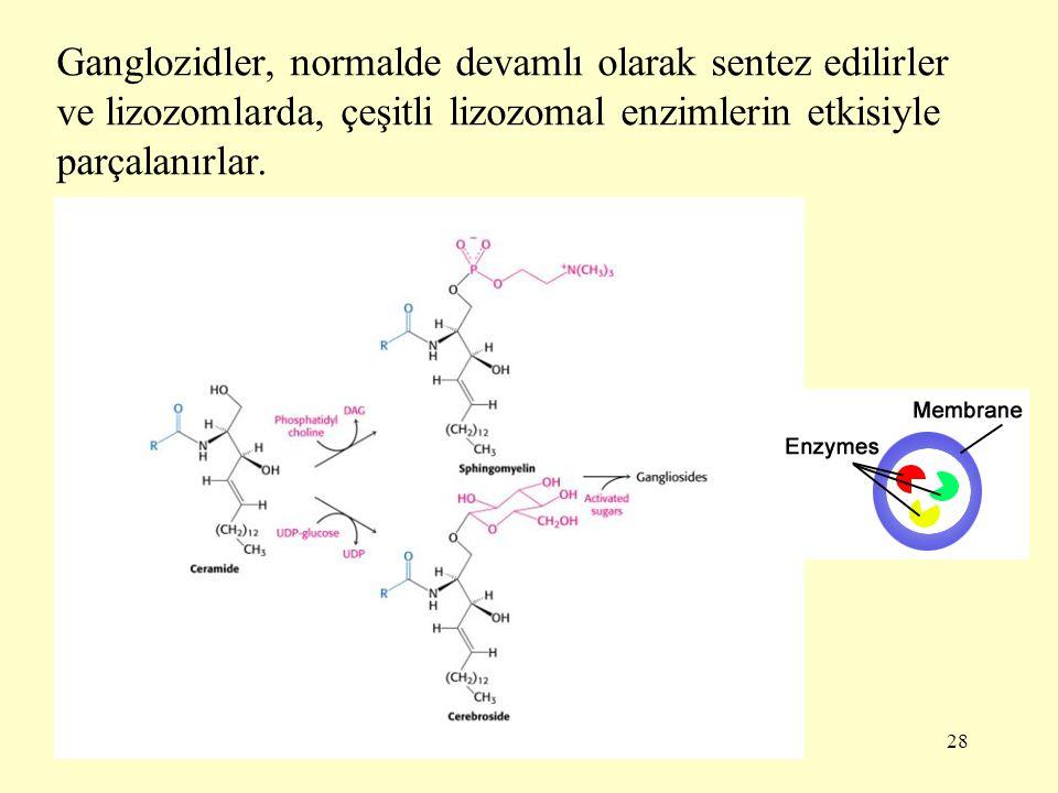 28 Ganglozidler, normalde devamlı olarak sentez edilirler ve lizozomlarda, çeşitli lizozomal enzimlerin etkisiyle parçalanırlar.