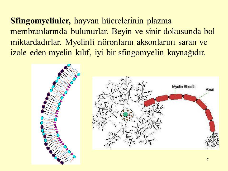 7 Sfingomyelinler, hayvan hücrelerinin plazma membranlarında bulunurlar.