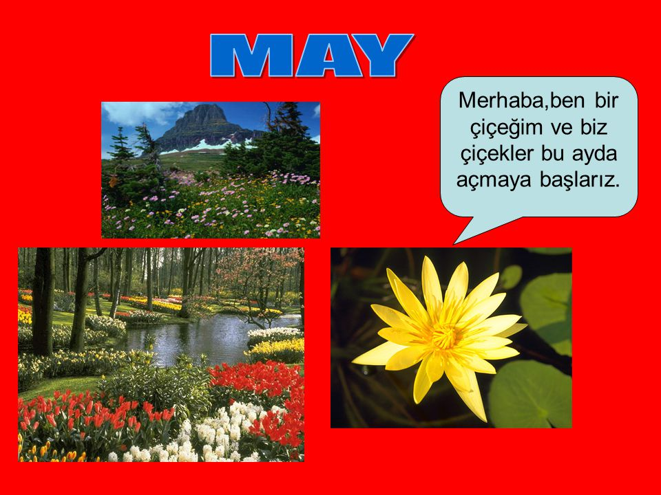 Merhaba,ben bir çiçeğim ve biz çiçekler bu ayda açmaya başlarız.