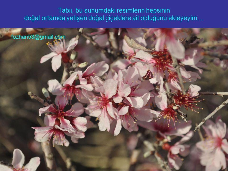 Tabii, bu sunumdaki resimlerin hepsinin doğal ortamda yetişen doğal çiçeklere ait olduğunu ekleyeyim… fozhan53@gmail.com