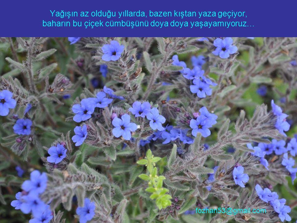 Yağışın az olduğu yıllarda, bazen kıştan yaza geçiyor, baharın bu çiçek cümbüşünü doya doya yaşayamıyoruz… fozhan53@gmail.com