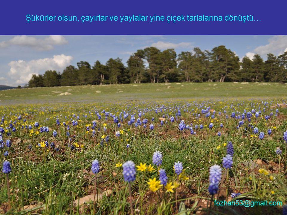 Şükürler olsun, çayırlar ve yaylalar yine çiçek tarlalarına dönüştü… fozhan53@gmail.com