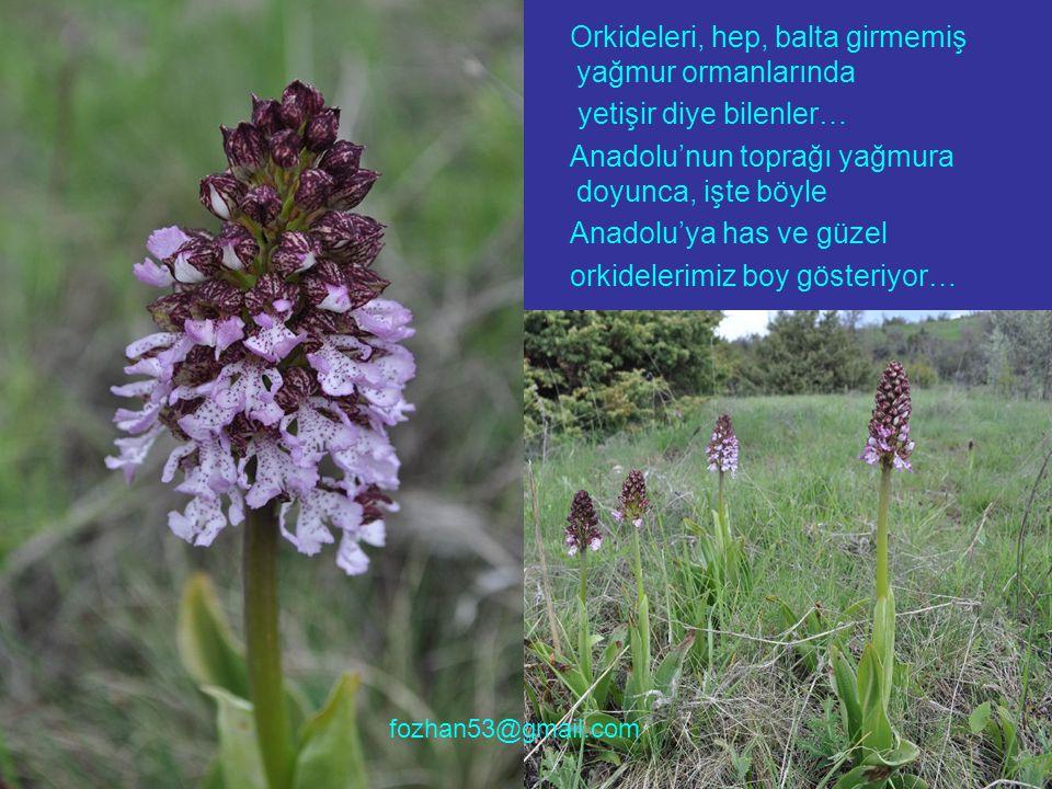 Orkideleri, hep, balta girmemiş yağmur ormanlarında yetişir diye bilenler… Anadolu'nun toprağı yağmura doyunca, işte böyle Anadolu'ya has ve güzel orkidelerimiz boy gösteriyor… fozhan53@gmail.com