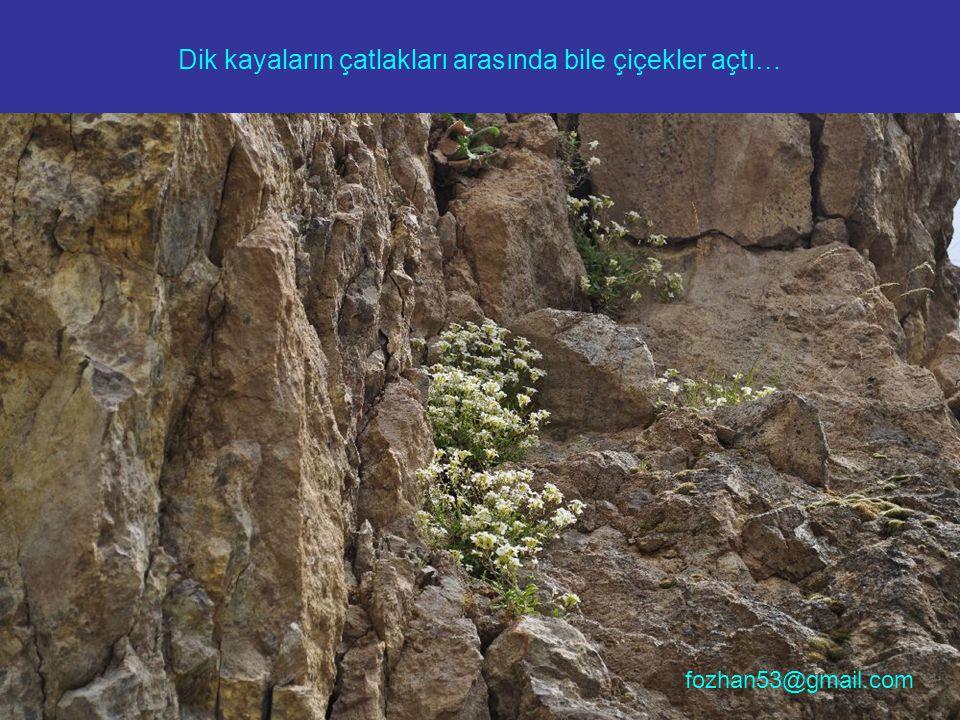 Dik kayaların çatlakları arasında bile çiçekler açtı… fozhan53@gmail.com