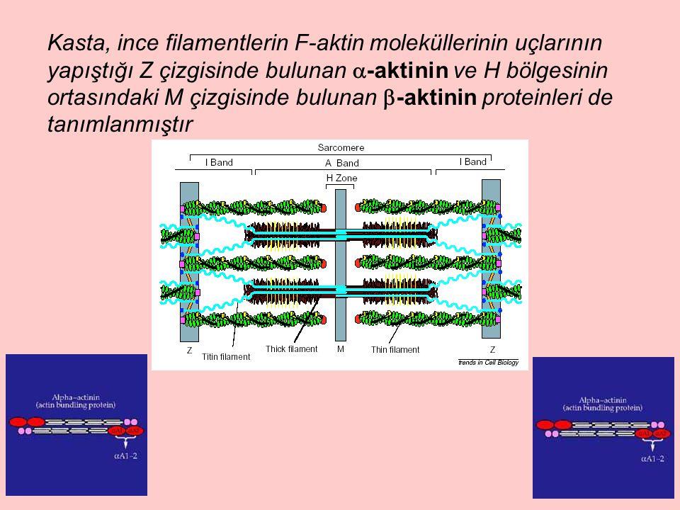 Kasta, ince filamentlerin F-aktin moleküllerinin uçlarının yapıştığı Z çizgisinde bulunan  -aktinin ve H bölgesinin ortasındaki M çizgisinde bulunan