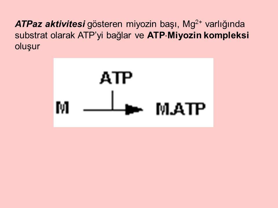 ATPaz aktivitesi gösteren miyozin başı, Mg 2+ varlığında substrat olarak ATP'yi bağlar ve ATP  Miyozin kompleksi oluşur