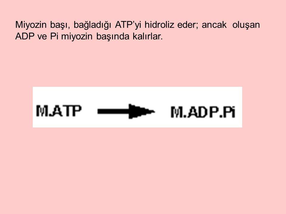 Miyozin başı, bağladığı ATP'yi hidroliz eder; ancak oluşan ADP ve Pi miyozin başında kalırlar.