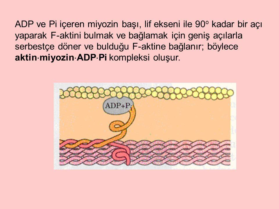 ADP ve Pi içeren miyozin başı, lif ekseni ile 90 o kadar bir açı yaparak F-aktini bulmak ve bağlamak için geniş açılarla serbestçe döner ve bulduğu F-