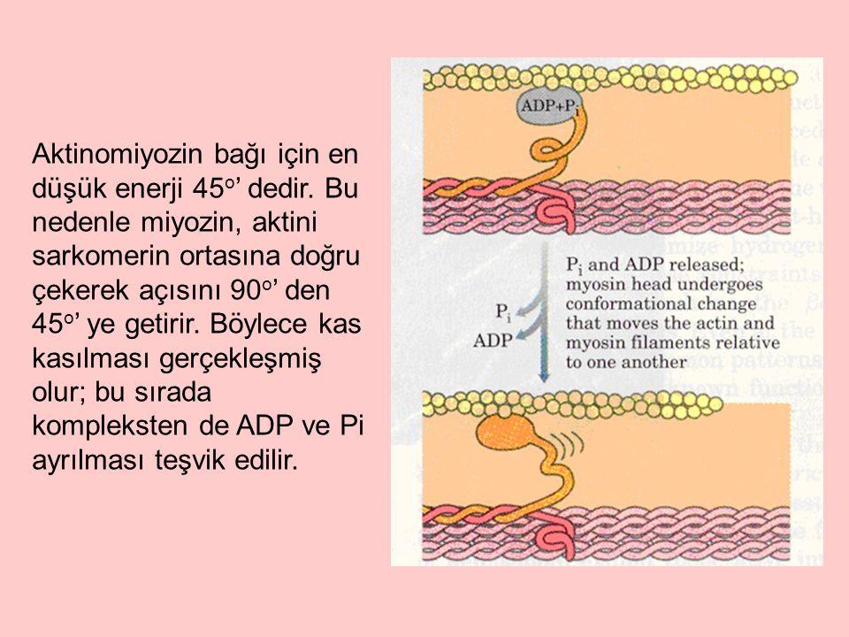 Aktinomiyozin bağı için en düşük enerji 45 o ' dedir. Bu nedenle miyozin, aktini sarkomerin ortasına doğru çekerek açısını 90 o ' den 45 o ' ye getiri