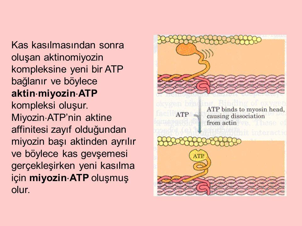 Kas kasılmasından sonra oluşan aktinomiyozin kompleksine yeni bir ATP bağlanır ve böylece aktin  miyozin  ATP kompleksi oluşur. Miyozin  ATP'nin ak