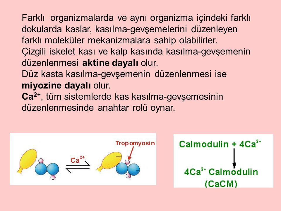Farklı organizmalarda ve aynı organizma içindeki farklı dokularda kaslar, kasılma-gevşemelerini düzenleyen farklı moleküler mekanizmalara sahip olabil