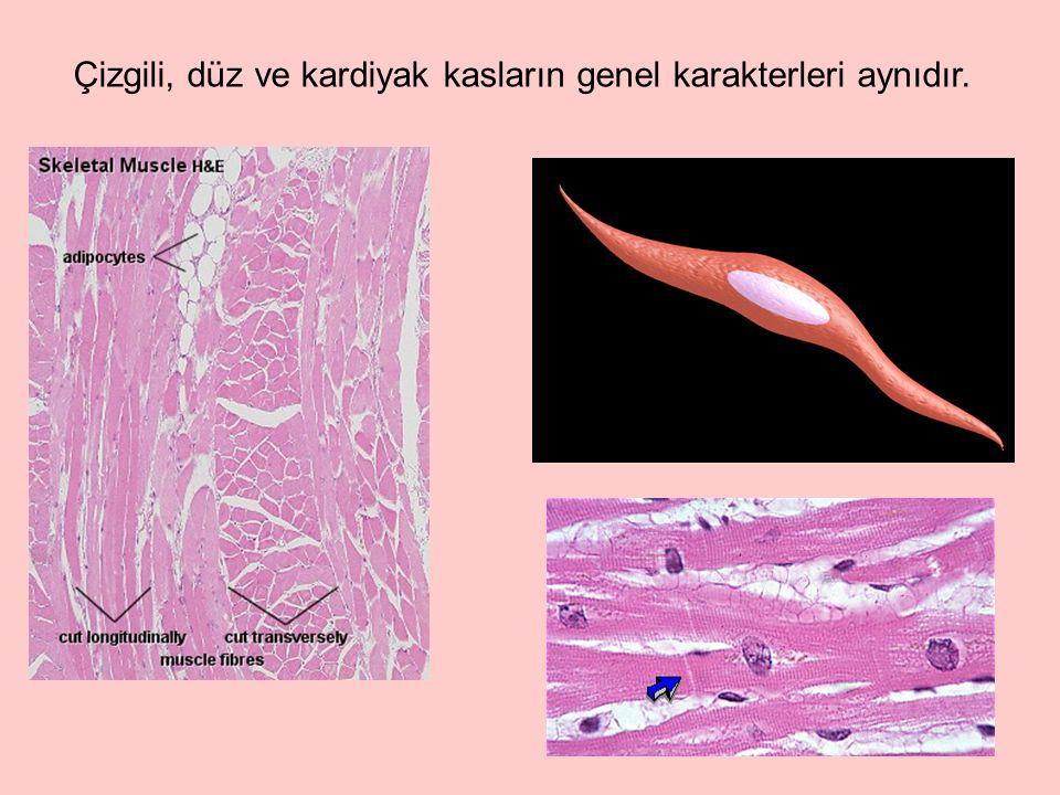 Miyozin, kas proteinlerinin ağırlıkça %55'ini oluşturur; kasın kalın filamentlerini yapar.