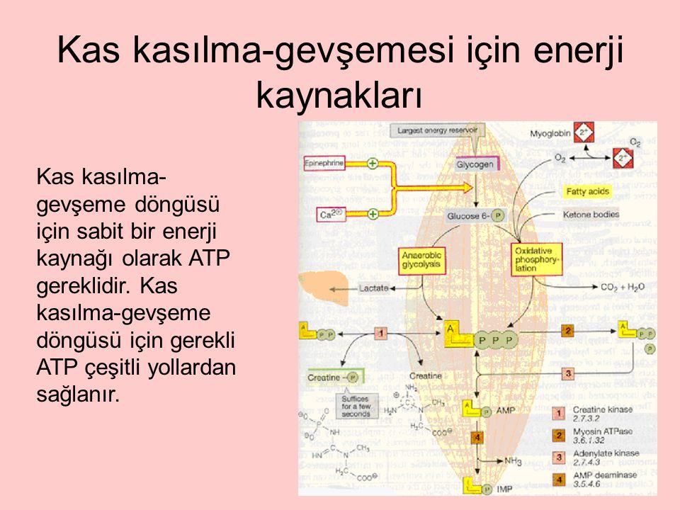 Kas kasılma-gevşemesi için enerji kaynakları Kas kasılma- gevşeme döngüsü için sabit bir enerji kaynağı olarak ATP gereklidir. Kas kasılma-gevşeme dön