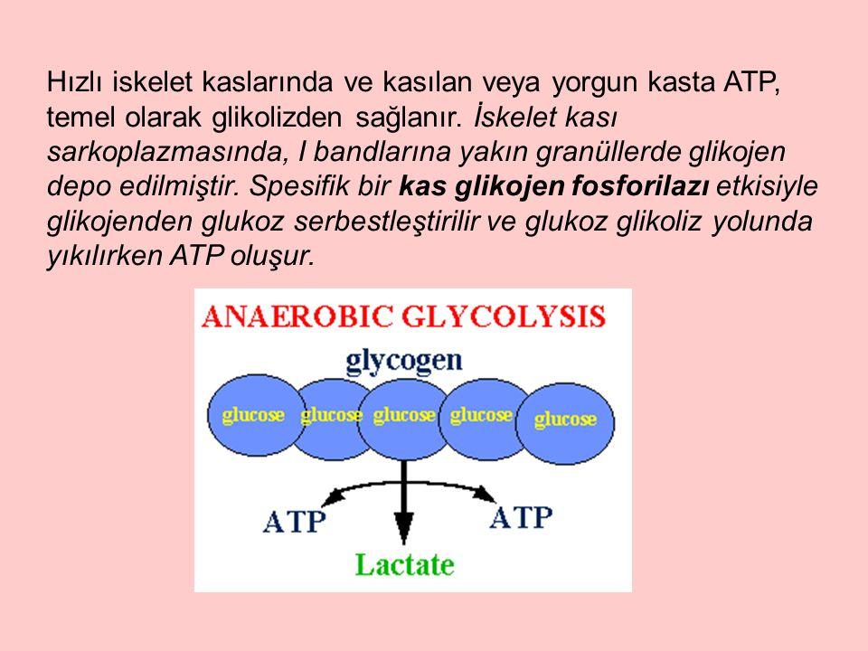Hızlı iskelet kaslarında ve kasılan veya yorgun kasta ATP, temel olarak glikolizden sağlanır. İskelet kası sarkoplazmasında, I bandlarına yakın granül