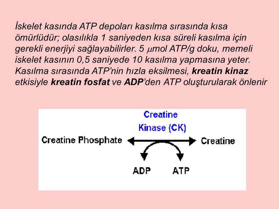 İskelet kasında ATP depoları kasılma sırasında kısa ömürlüdür; olasılıkla 1 saniyeden kısa süreli kasılma için gerekli enerjiyi sağlayabilirler. 5  m