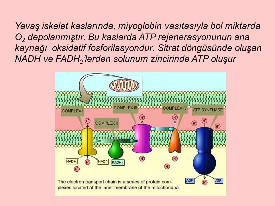 Yavaş iskelet kaslarında, miyoglobin vasıtasıyla bol miktarda O 2 depolanmıştır. Bu kaslarda ATP rejenerasyonunun ana kaynağı oksidatif fosforilasyond