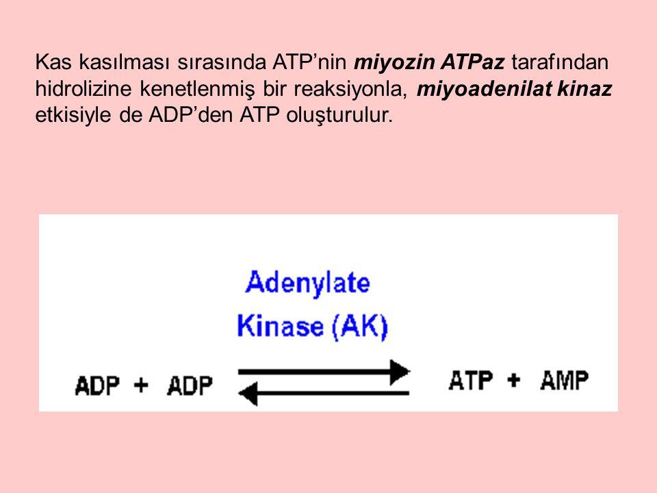 Kas kasılması sırasında ATP'nin miyozin ATPaz tarafından hidrolizine kenetlenmiş bir reaksiyonla, miyoadenilat kinaz etkisiyle de ADP'den ATP oluşturu