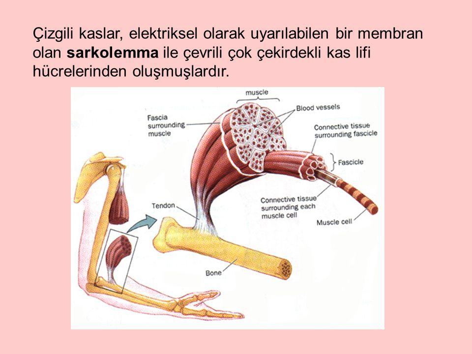 Aktin, kas proteinlerinin ağırlıkça %25'ini oluşturur; kasın ince filamentlerini yapar.