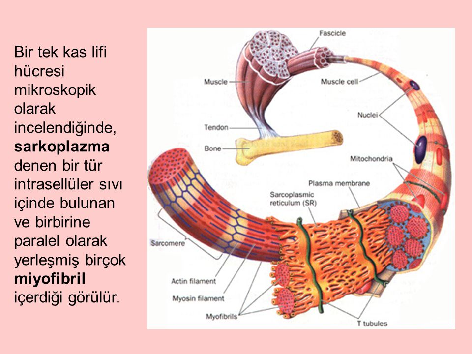 Bir tek kas lifi hücresi mikroskopik olarak incelendiğinde, sarkoplazma denen bir tür intrasellüler sıvı içinde bulunan ve birbirine paralel olarak ye