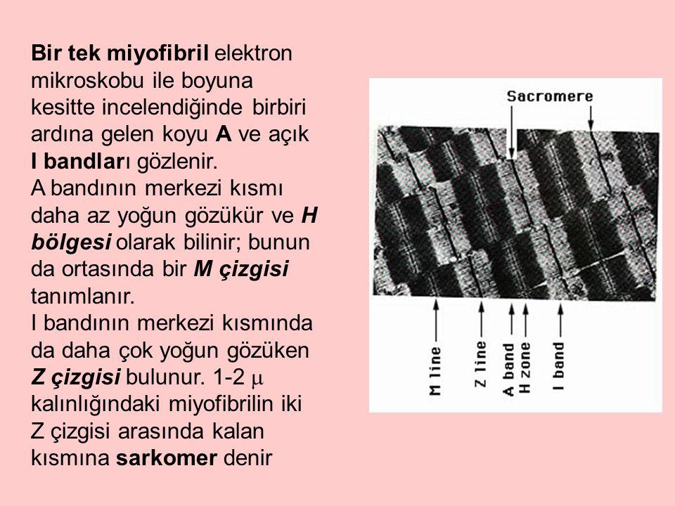 Bir tek miyofibril elektron mikroskobu ile boyuna kesitte incelendiğinde birbiri ardına gelen koyu A ve açık I bandları gözlenir. A bandının merkezi k