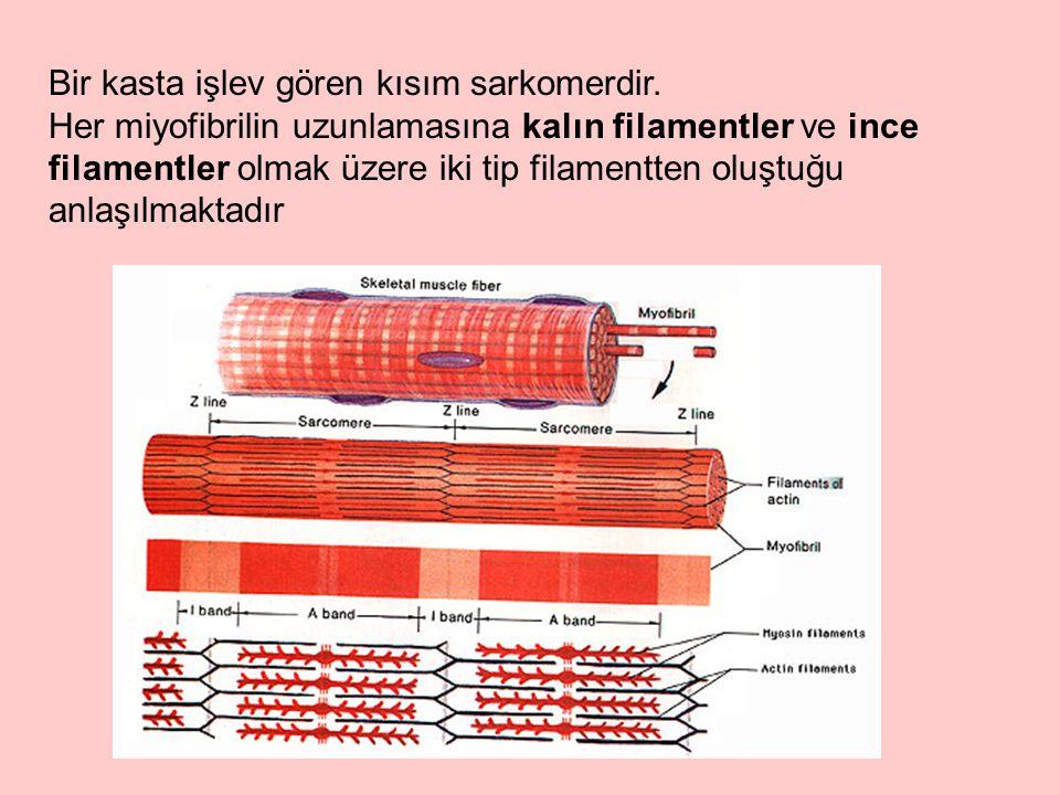 Bir kasta işlev gören kısım sarkomerdir. Her miyofibrilin uzunlamasına kalın filamentler ve ince filamentler olmak üzere iki tip filamentten oluştuğu