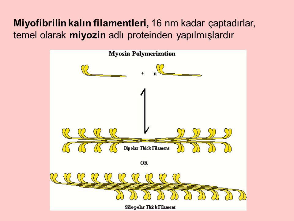 Miyofibrilin kalın filamentleri, 16 nm kadar çaptadırlar, temel olarak miyozin adlı proteinden yapılmışlardır