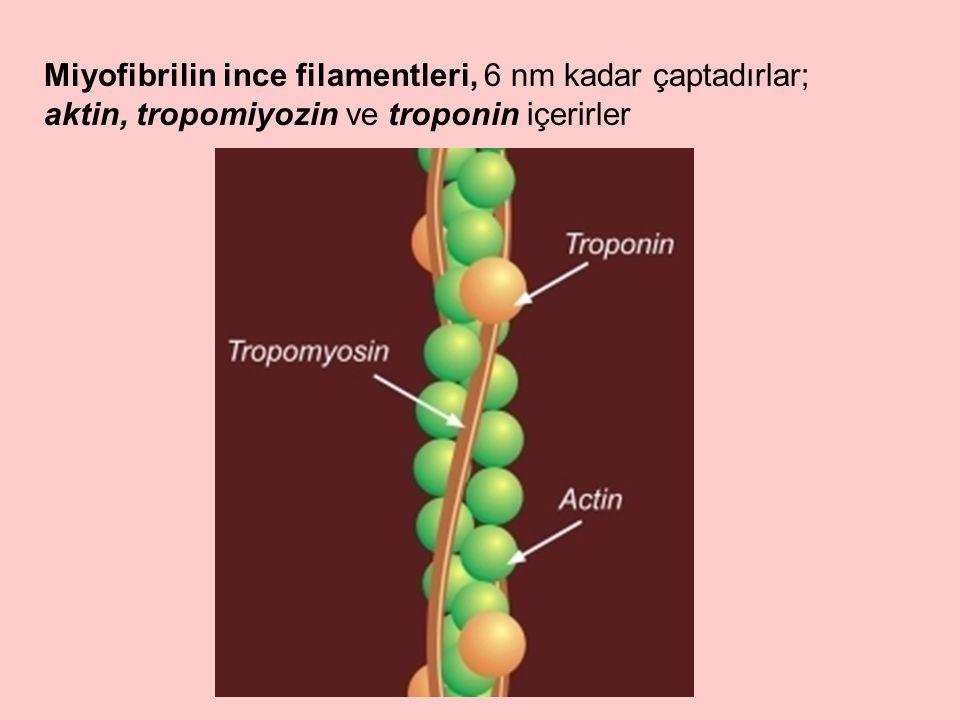 Miyofibrilin ince filamentleri, 6 nm kadar çaptadırlar; aktin, tropomiyozin ve troponin içerirler