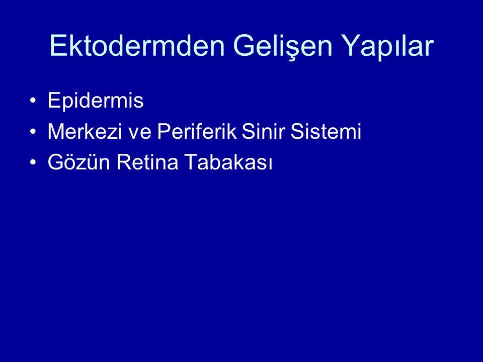 Ektodermden Gelişen Yapılar Epidermis Merkezi ve Periferik Sinir Sistemi Gözün Retina Tabakası