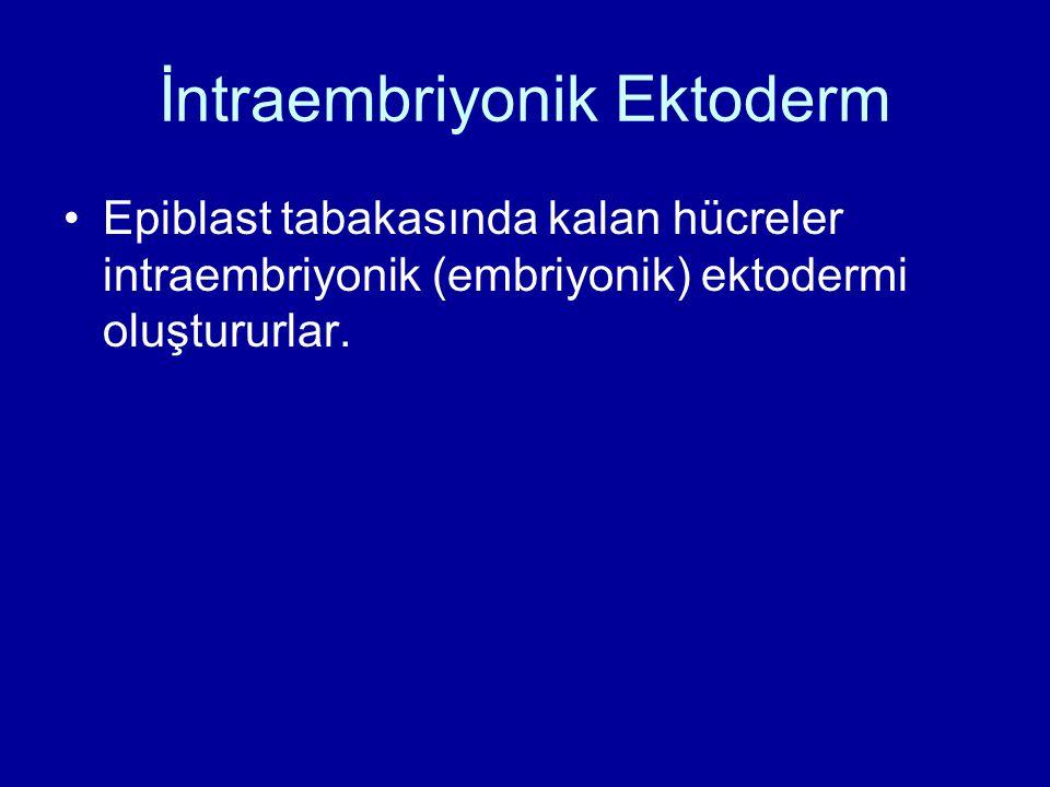 İntraembriyonik Ektoderm Epiblast tabakasında kalan hücreler intraembriyonik (embriyonik) ektodermi oluştururlar.