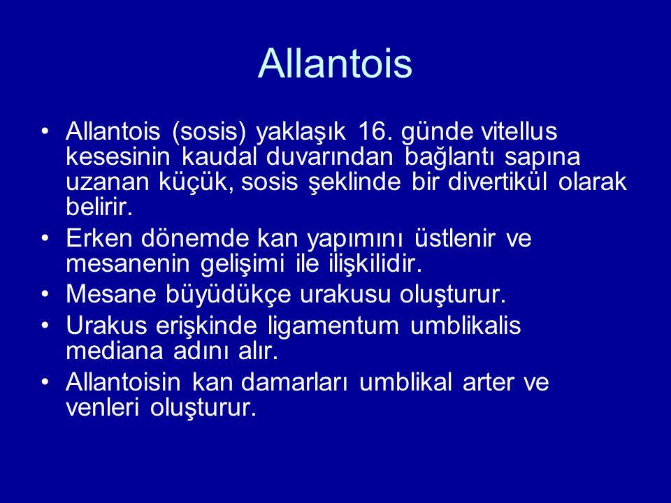 Allantois Allantois (sosis) yaklaşık 16. günde vitellus kesesinin kaudal duvarından bağlantı sapına uzanan küçük, sosis şeklinde bir divertikül olarak